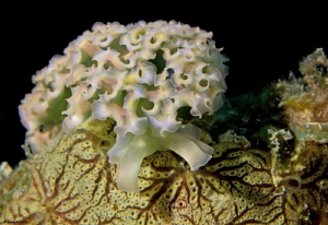 Over the hump.  Lettuce sea slug by John Roach 